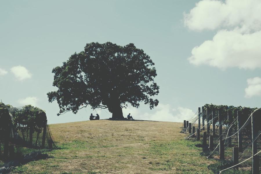 waiheke_drzewo.jpg